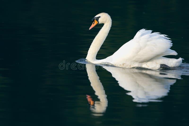 Безгласный лебедь и отражение стоковые фото