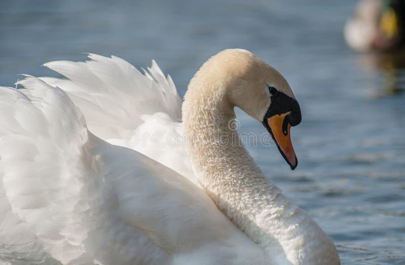 Безгласный лебедь на озере в Bedfordshire стоковое изображение
