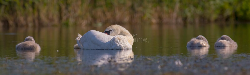Безгласный лебедь - olor Cygnus - женщина с swanlets стоковые фотографии rf