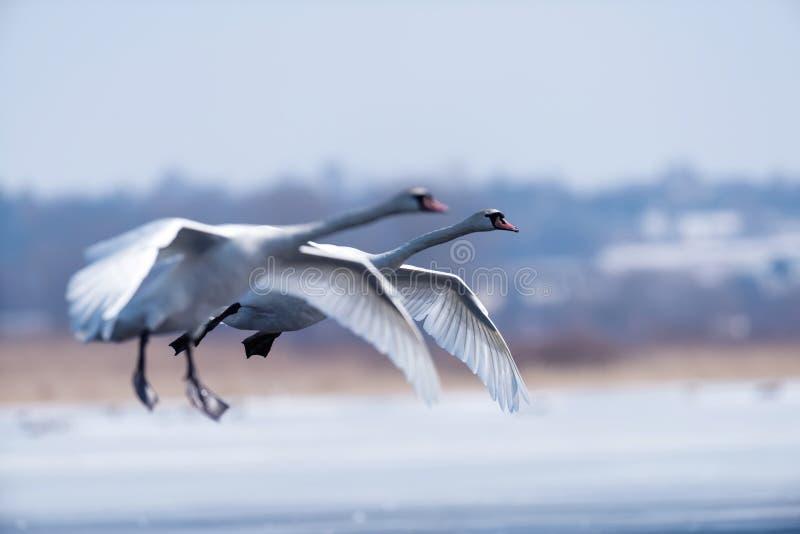Безгласный лебедь, olor Cygnus, одиночная птица в полете стоковая фотография rf