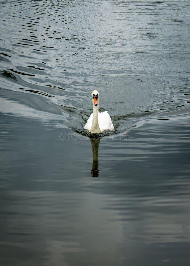 Безгласный лебедь в озере стоковые фотографии rf