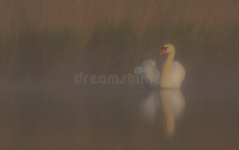 Безгласный лебедь & x28; Olor Cygnus & x29; стоковая фотография