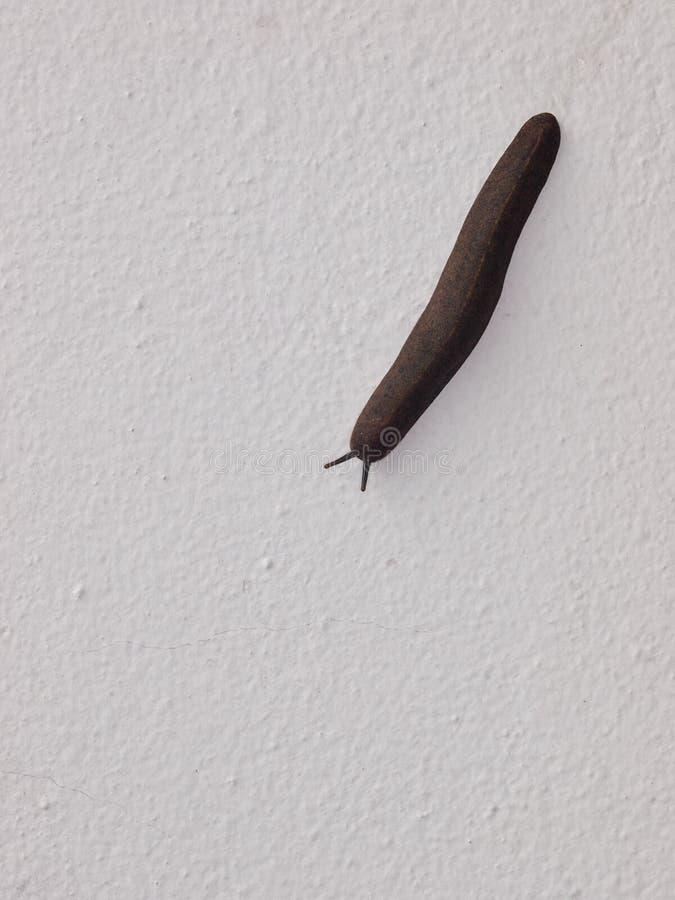 Бездельник коричневого цвета ковчега серый небольшой тропический, пиявка, улитка без раковины стоковые изображения rf