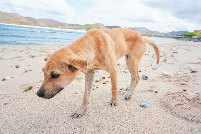 Бездомная собака идя на песчаный пляж стоковая фотография rf