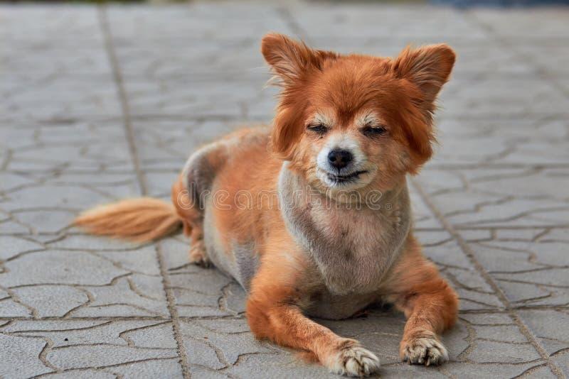 Бездомная собака Собака лежит на том основании Старая собака с грустным взглядом Рыжеволосая собака на улице Старый doggy лежит н стоковые фото
