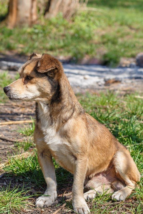 Бездомная собака Бездомная милая коричневая собака идет в природу Собака r стоковые фото