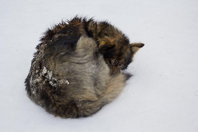 Бездомные собаки в зиме в снеге стоковое фото rf