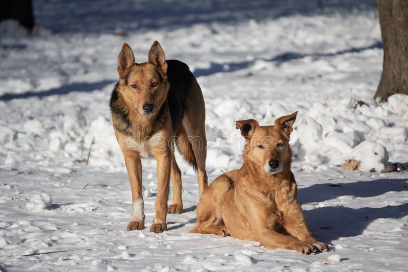 Бездомные собаки на белом снеге стоковое изображение rf