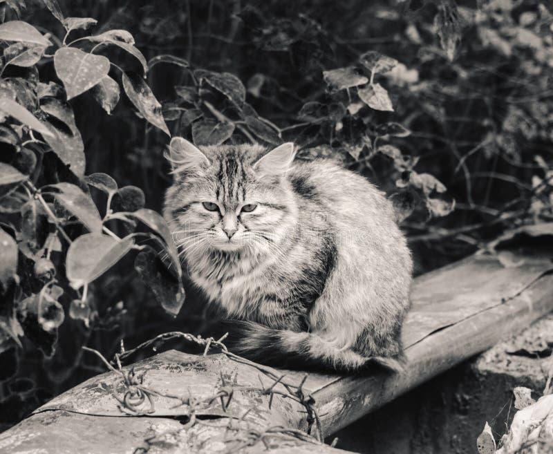Бездомный кот motley меха на в черно-белом стоковые изображения rf