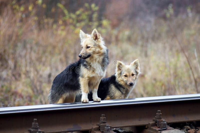 2 бездомных собаки около железнодорожного пути Собаки ждут их owner_ стоковые фото