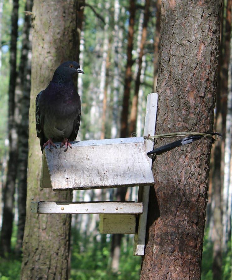 Беззастенчивый жирный голубь сидит на голубом фидере птицы стоковое изображение