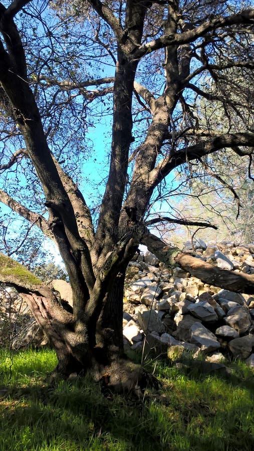 Безлистное дерево в зеленой траве кучей утеса стоковая фотография