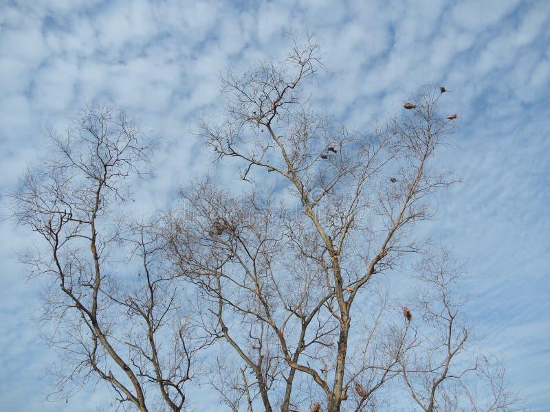 Безлистные деревья предпосылка голубое небо, показывая начало зимы стоковая фотография rf