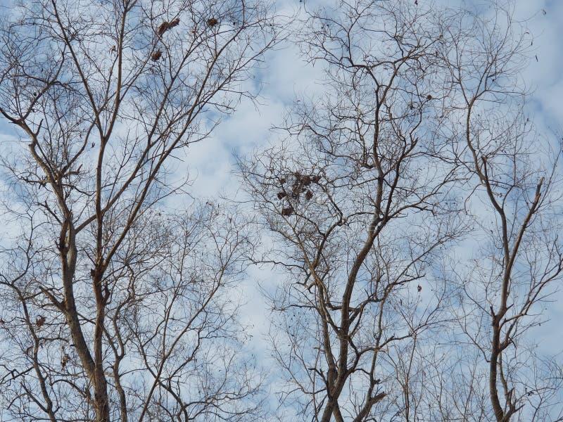 Безлистные деревья предпосылка голубое небо, показывая начало зимы стоковые фотографии rf