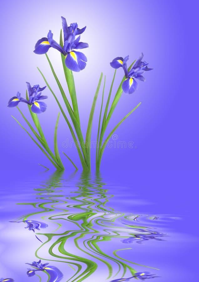 безмятежность радужки цветка стоковые изображения rf