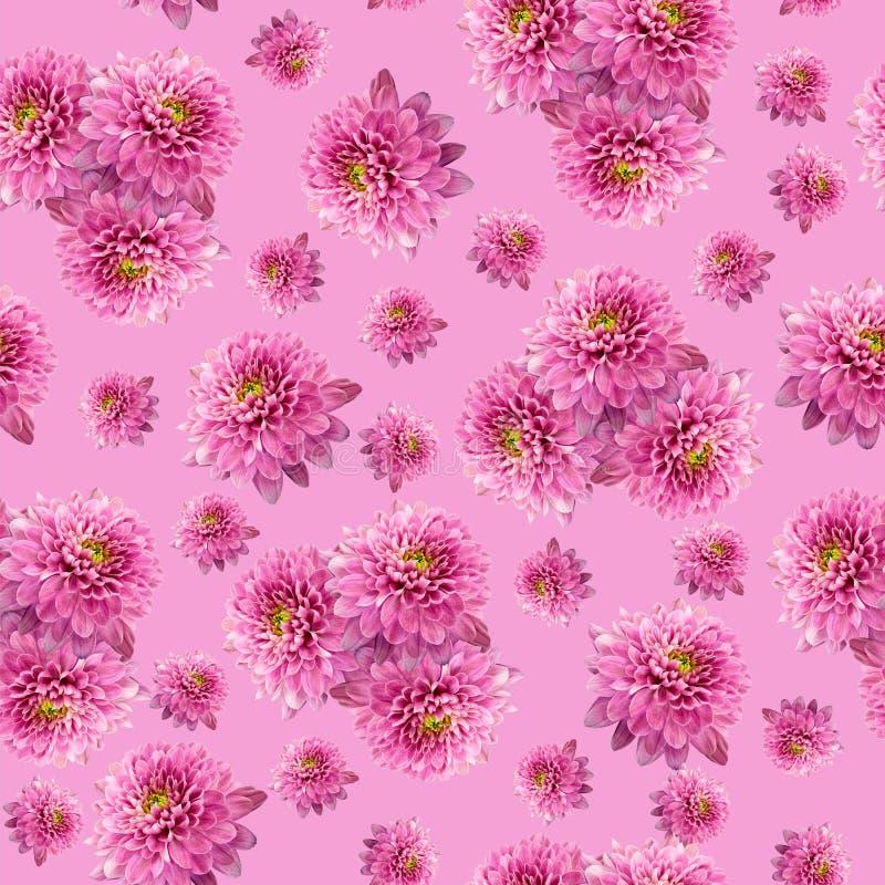 Безшовная бесконечная розовая флористическая предпосылка для дизайна и печатания Предпосылка естественных хризантем стоковое фото rf