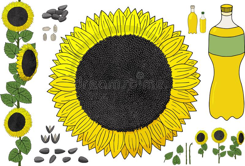 Yellow flowers of a sunflower, sunflower seeds and oil in a plastic bottle stock image