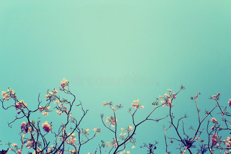 Безлистная ветвь дерева с розовыми цветками против предпосылки голубого неба, года сбора винограда тонизированное изображение стоковая фотография