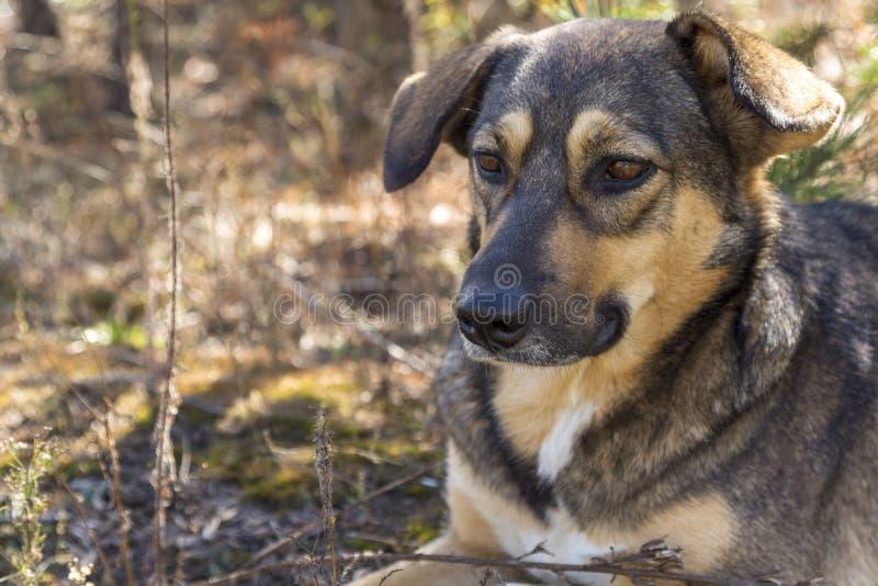 Бездомная собака в древесинах, голодный и утомленный стоковые фотографии rf