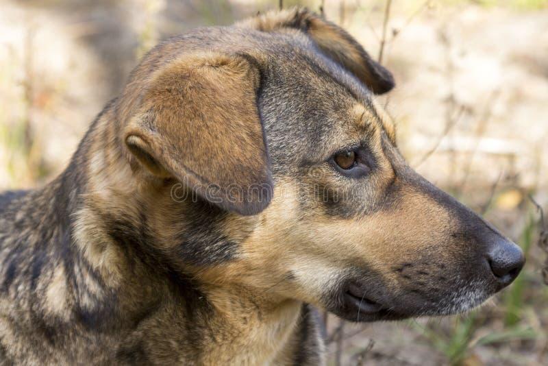 Бездомная собака в древесинах, голодный и утомленный стоковое фото rf