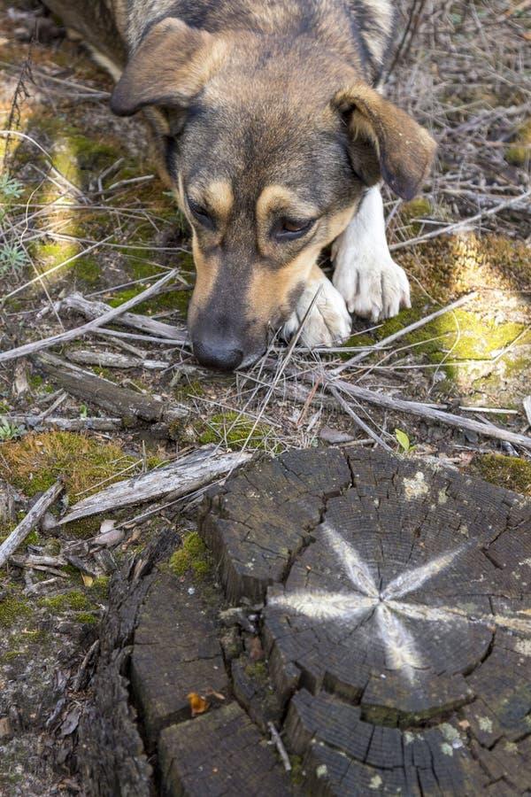 Бездомная собака в древесинах, голодный и утомленный стоковые изображения