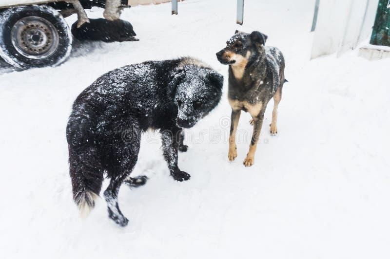 Бездомные собаки в зиме стоковая фотография
