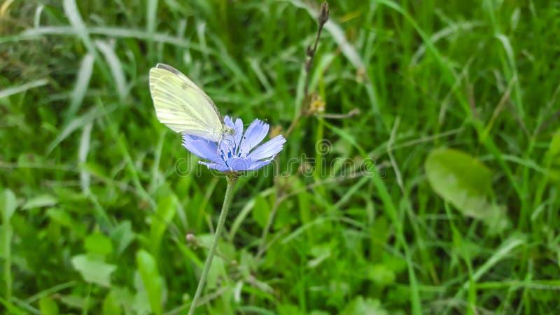 Белая бабочка на голубом цветке В парке в природе стоковое изображение rf