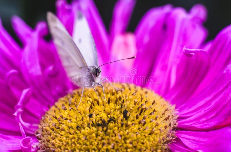 Белая бабочка на конце-вверх цветка сирени стоковые изображения rf