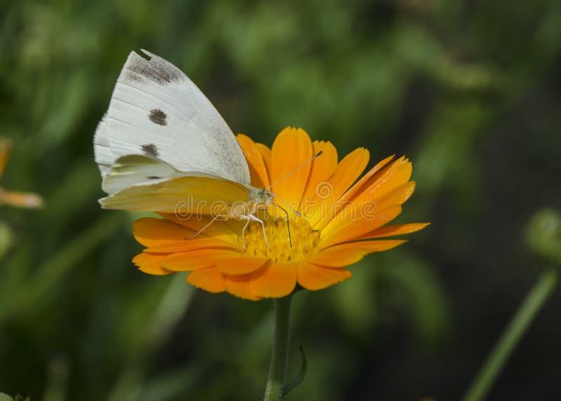 Белая бабочка сидя на оранжевом цветке Calendula Brassicae Pieris, также вызвали большую белизну, бабочку капусты стоковая фотография