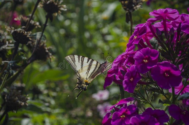 Белая бабочка с нашивками сидя на пурпурных цветках флокса Недостаточное swallowtail, podalirius Iphiclides стоковые изображения