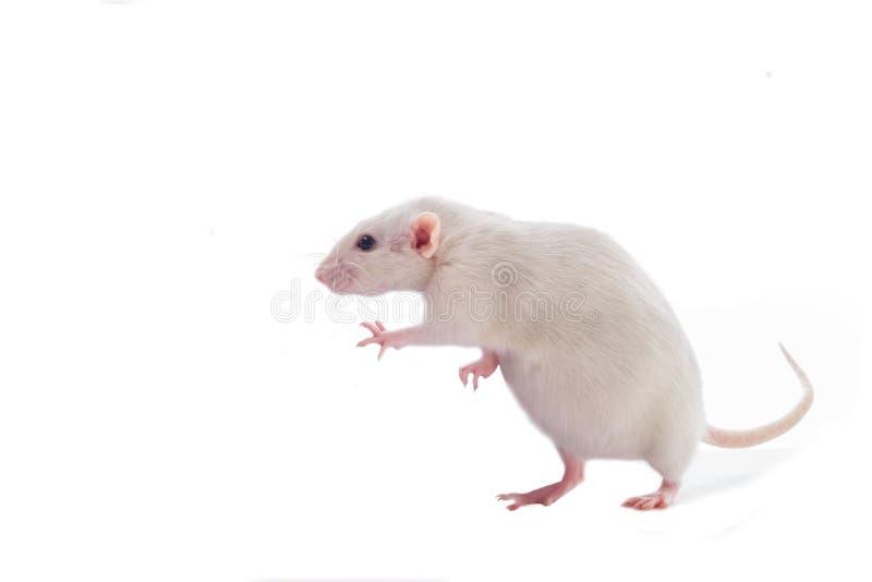 Белая беременная жирная отечественная крыса dumbo изолированная на белой предпосылке стоковые фото