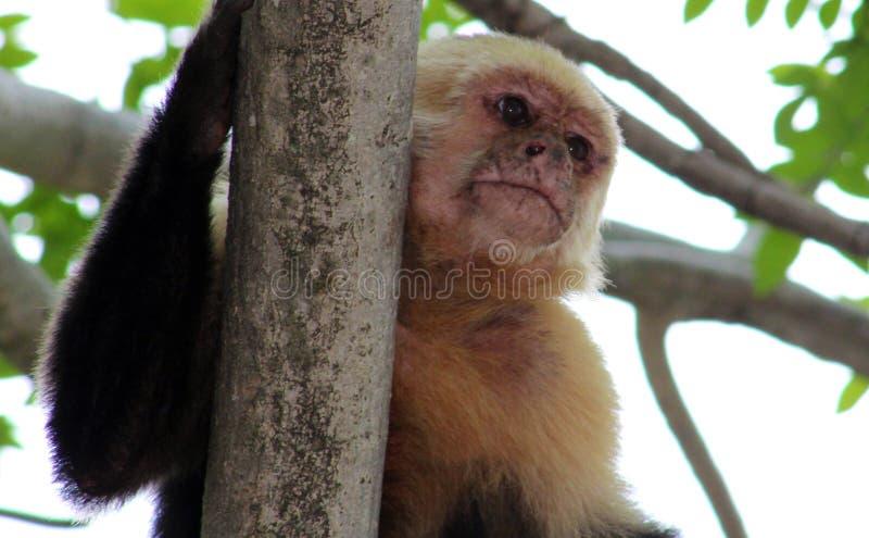 Белая возглавленная обезьяна паука руки capuchin одного в Коста-Рика стоковая фотография rf