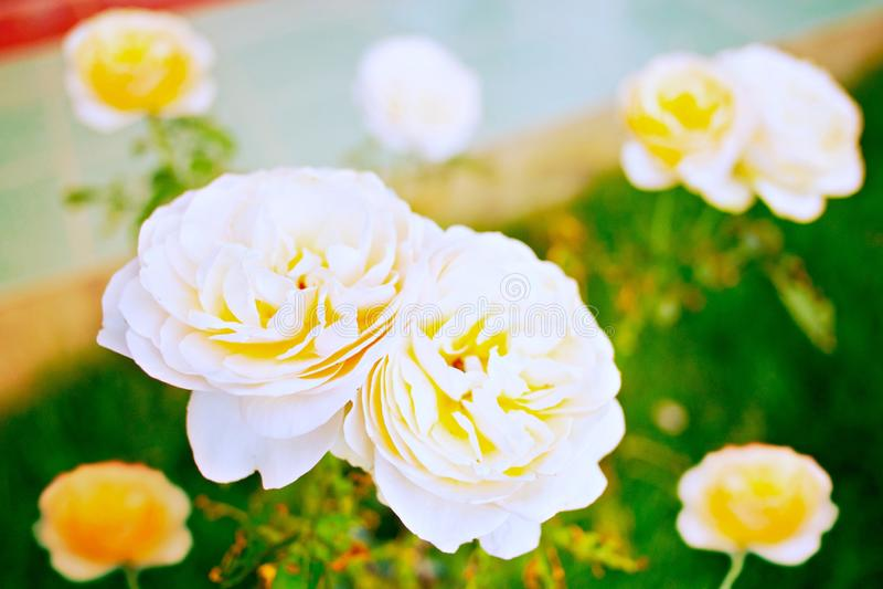 Белая желтая роза стоковая фотография rf