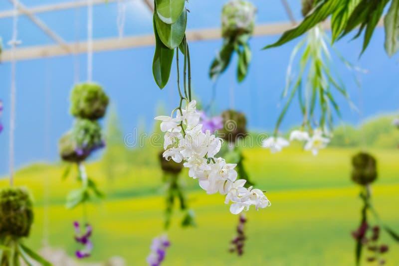 Белая зацветая орхидея вися на потолке Элемент комнаты, свадьба оформления, праздник, день рождения стоковая фотография