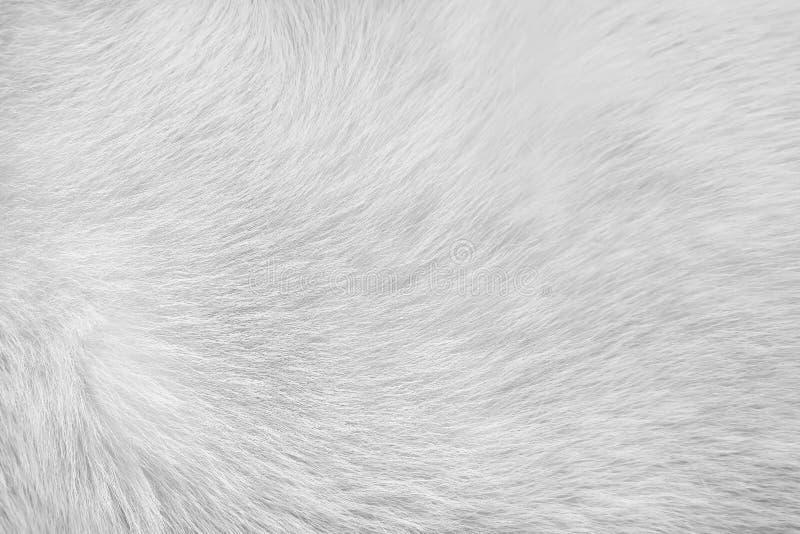 Белая или серая текстура меха кота для предпосылки, естественной животной кожи картин стоковое фото rf