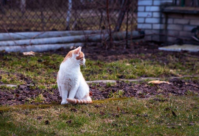 Белая и желтая взрослая домашняя кошка сидя в траве и смотря к правильной позиции стоковое фото