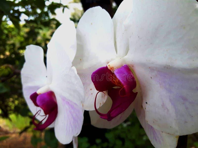 Белая и пурпурная орхидея стоковая фотография