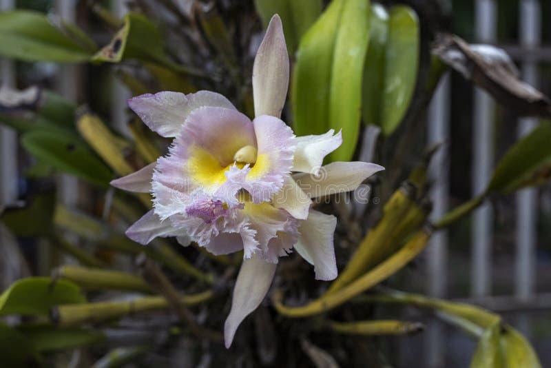 Белая и розовая орхидея на дереве Красивое тропическое фото крупного плана цветка Экзотическая орхидея цветка Тропическая деталь  стоковые фотографии rf