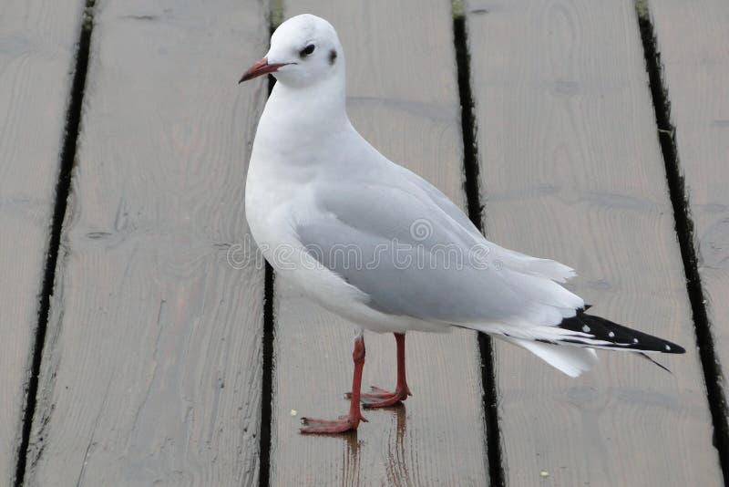 Белая и серая чайка на взморье стоковое фото rf