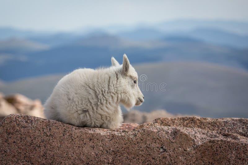 Белая коза горы младенца стоковое изображение
