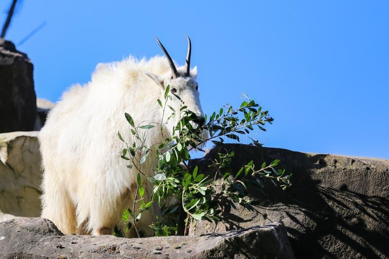 Белая коза горы на утесе стоковая фотография rf