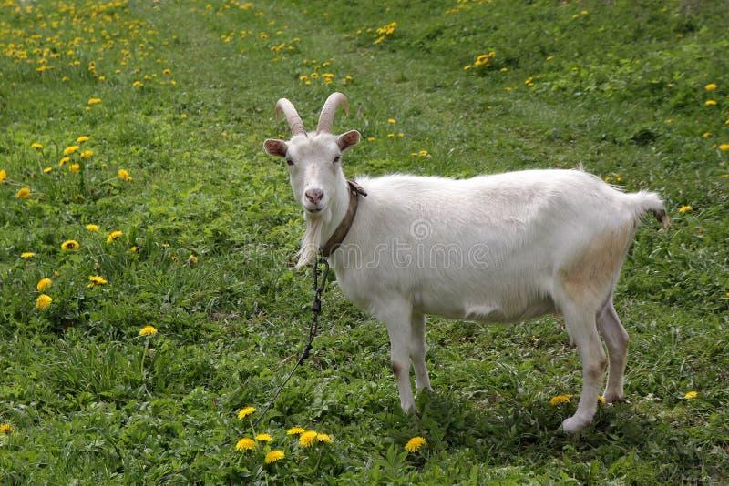 Белая коза на поводке стоковые фото