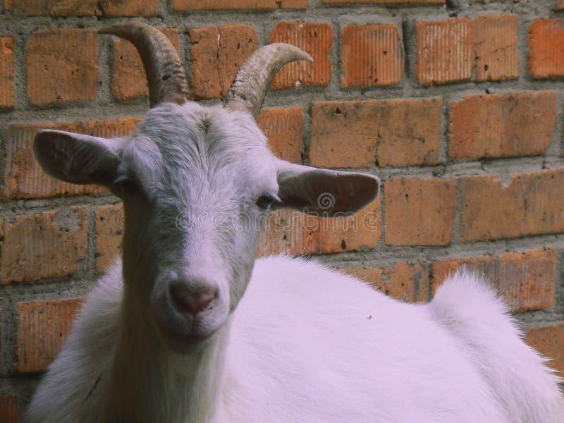 Белая коза принцессы стоковое фото rf