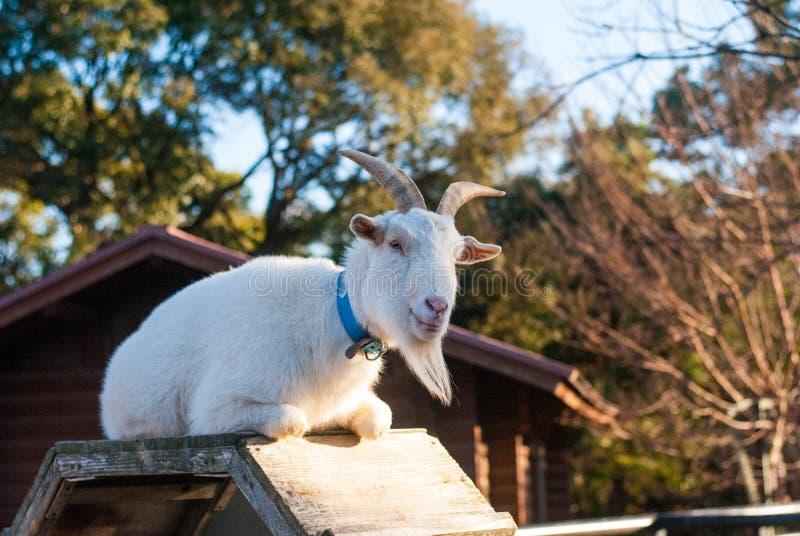 Белая коза сидя на деревянной стойке с деревом и доме как предпосылка в зоопарке стоковое фото