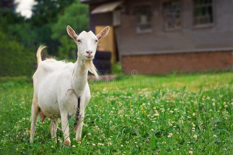 Белая коза standsing на зеленом луге с загородным домом на предпосылке стоковая фотография rf