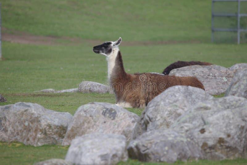 Белая коричневая лама с черной головой лежа на зеленом поле стоковая фотография