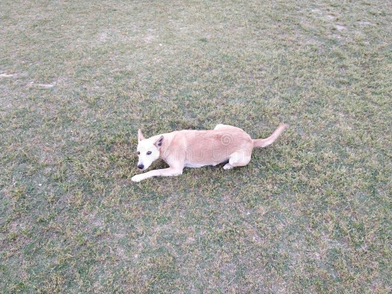 белая коричневая собака видя в необыкновенном пути стоковое изображение rf