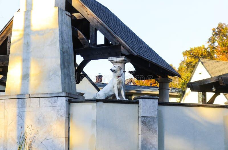 Белая красивая собака исследуя мира от верхней части высокорослой загородки цемента вокруг внешних жилой площади и двора стоковые изображения rf