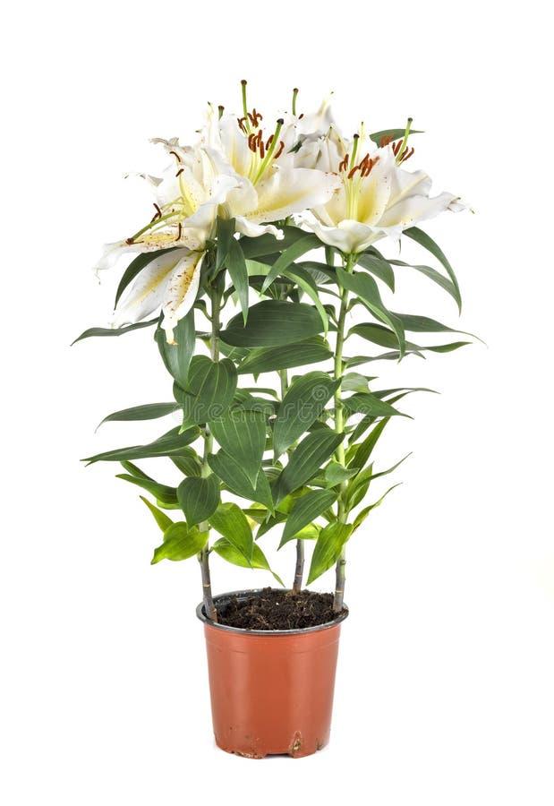 Белая лилия в студии стоковые фотографии rf