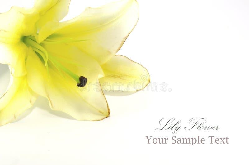 Белая лилия изолированная на белизне стоковая фотография rf